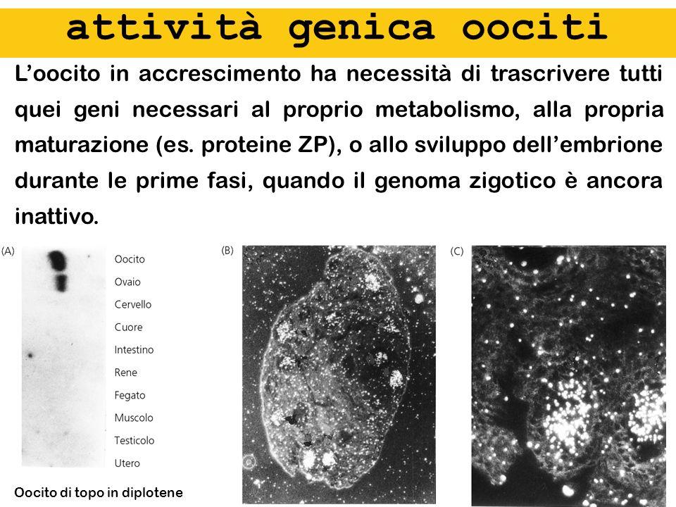 attività genica oociti Loocito in accrescimento ha necessità di trascrivere tutti quei geni necessari al proprio metabolismo, alla propria maturazione