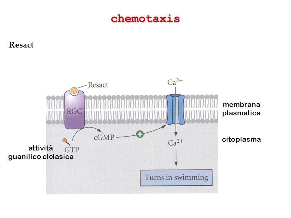 Resact chemotaxis membrana plasmatica citoplasma attività guanilico ciclasica