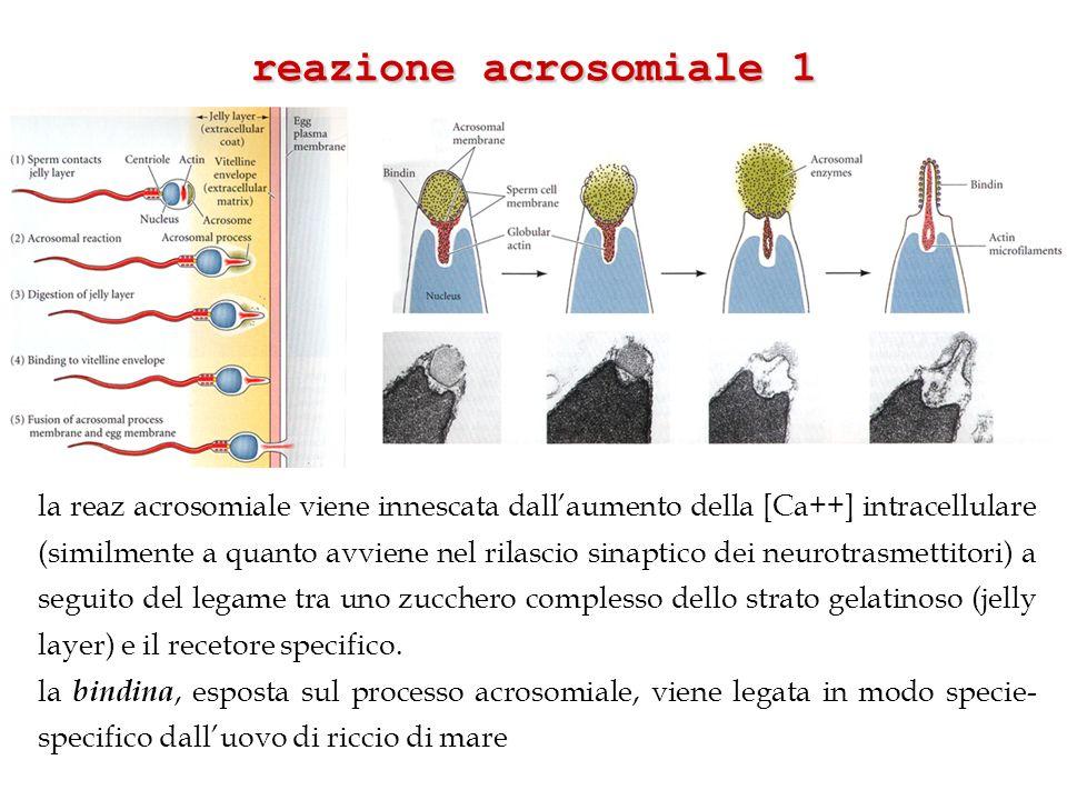 reazione acrosomiale 1 la reaz acrosomiale viene innescata dallaumento della [Ca++] intracellulare (similmente a quanto avviene nel rilascio sinaptico