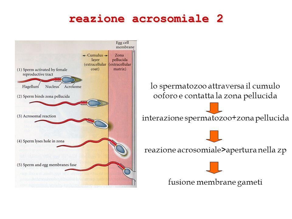 reazione acrosomiale 2 lo spermatozoo attraversa il cumulo ooforo e contatta la zona pellucida interazione spermatozoo+zona pellucida reazione acrosom