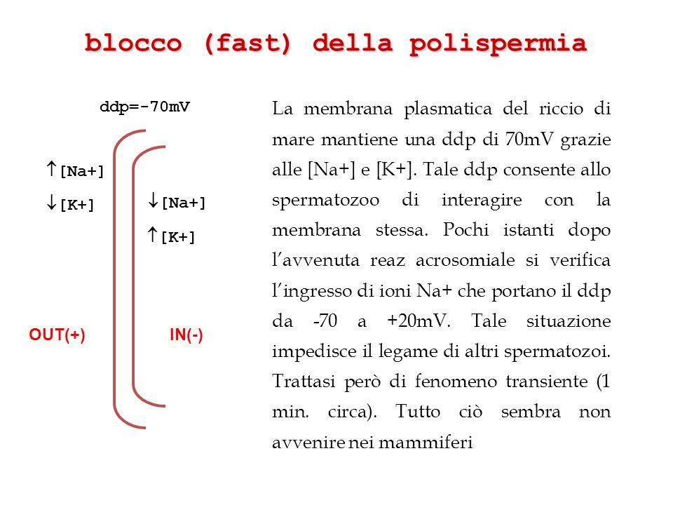 La membrana plasmatica del riccio di mare mantiene una ddp di 70mV grazie alle [Na+] e [K+]. Tale ddp consente allo spermatozoo di interagire con la m
