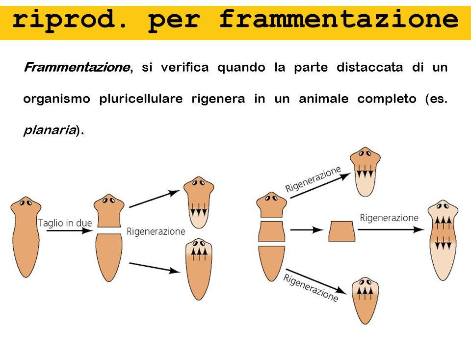 Frammentazione, si verifica quando la parte distaccata di un organismo pluricellulare rigenera in un animale completo (es. planaria). riprod. per fram