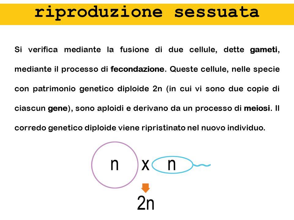gametogenesi 1° divisione meiotica 2° div meiot