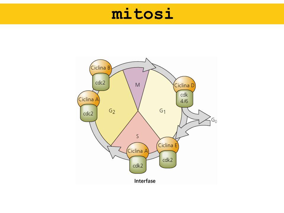 spermatozoo ASSONEMA: formato da microtubuli che originano dal centriolo 2 microtubuli completi centrali 9 coppie di cui uno solo è completo (13 protofilamenti contro gli 11 del non-completo) Dineina: idrolisi ATP (sindrome Kartagener)