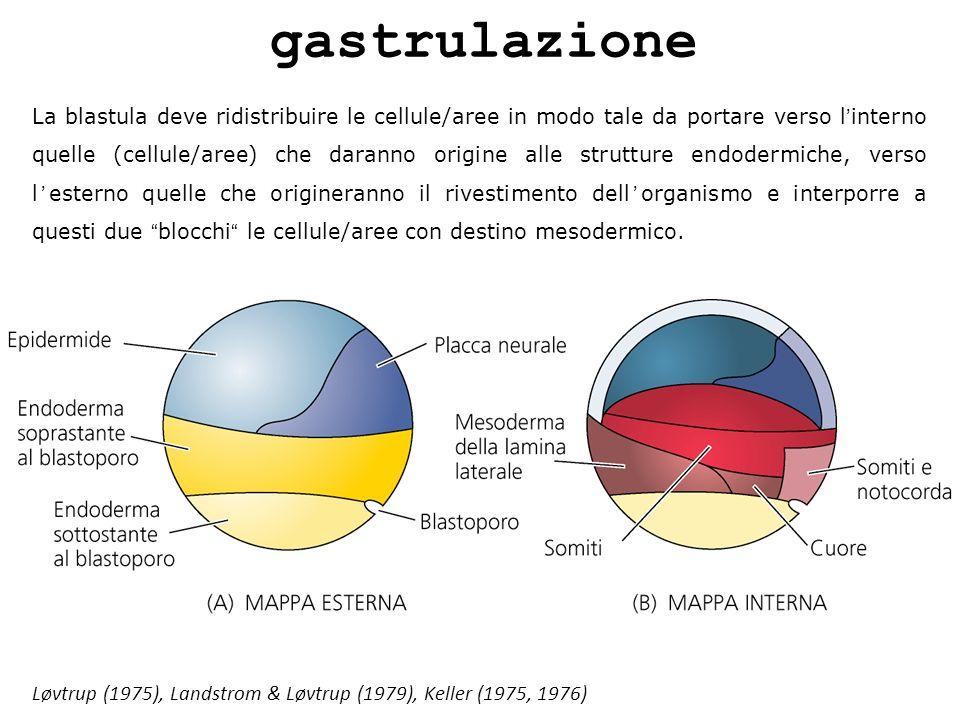 gastrulazione La blastula deve ridistribuire le cellule/aree in modo tale da portare verso linterno quelle (cellule/aree) che daranno origine alle str