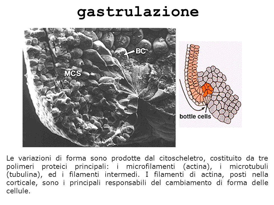 gastrulazione Le variazioni di forma sono prodotte dal citoscheletro, costituito da tre polimeri proteici principali: i microfilamenti (actina), i mic