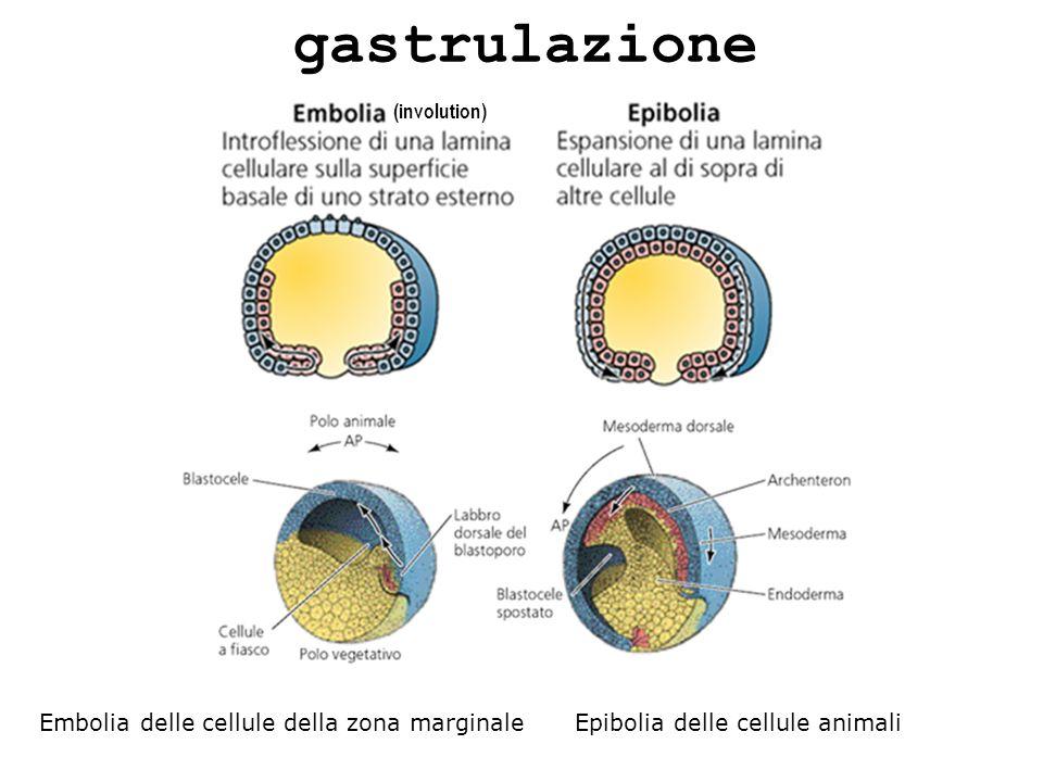 gastrulazione Embolia delle cellule della zona marginale Epibolia delle cellule animali (involution)