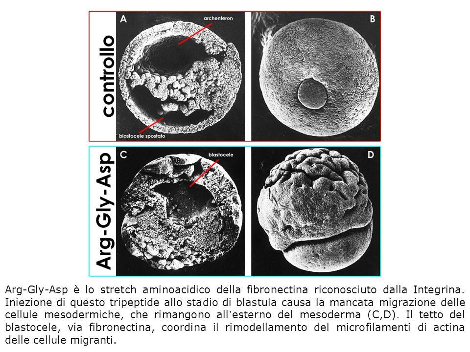 Arg-Gly-Asp è lo stretch aminoacidico della fibronectina riconosciuto dalla Integrina. Iniezione di questo tripeptide allo stadio di blastula causa la