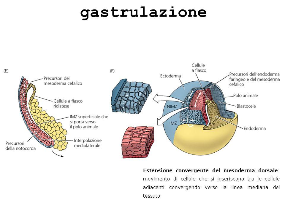 Estensione convergente del mesoderma dorsale: movimento di cellule che si inseriscono tra le cellule adiacenti convergendo verso la linea mediana del