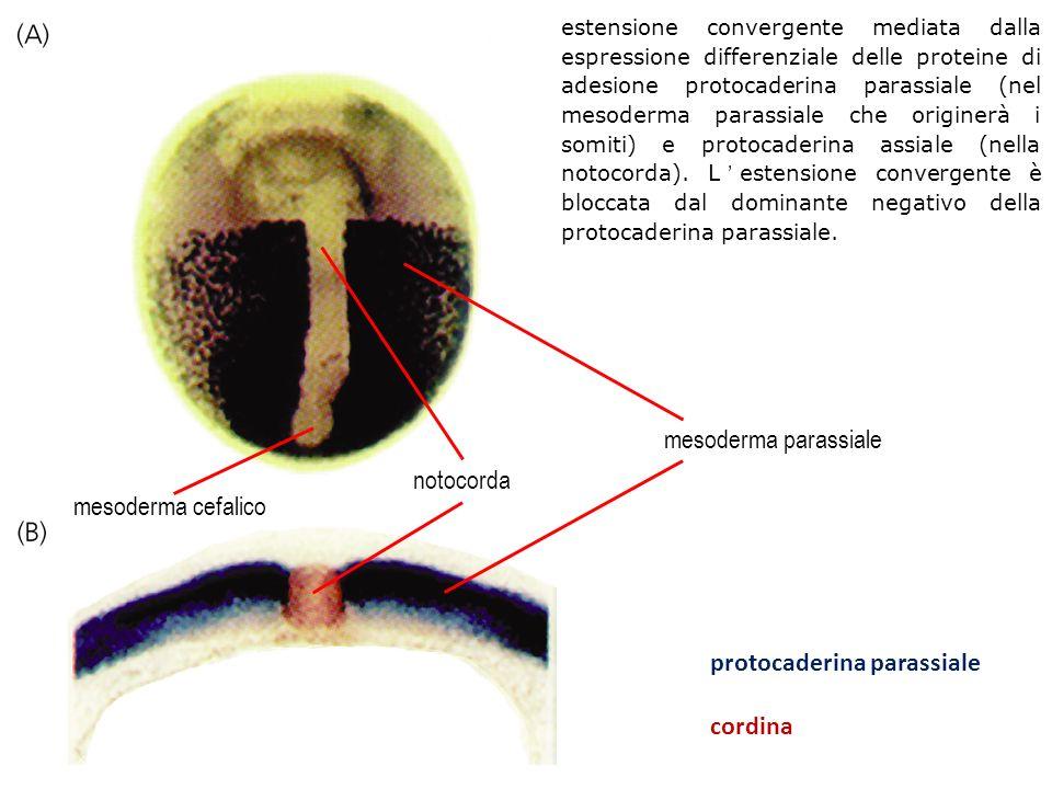 notocorda mesoderma parassiale mesoderma cefalico protocaderina parassiale cordina estensione convergente mediata dalla espressione differenziale dell