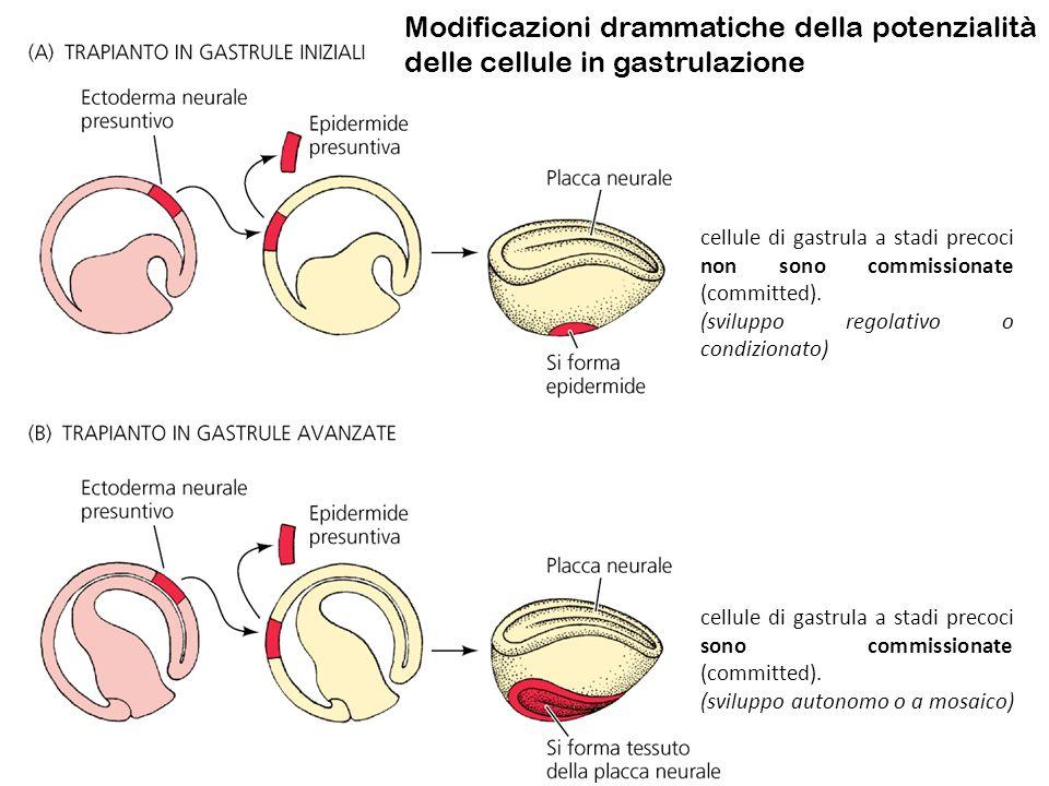 cellule di gastrula a stadi precoci non sono commissionate (committed). (sviluppo regolativo o condizionato) cellule di gastrula a stadi precoci sono