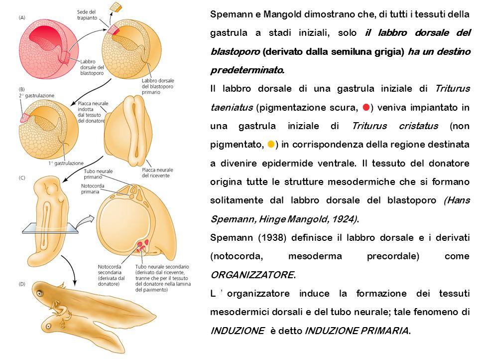 Spemann e Mangold dimostrano che, di tutti i tessuti della gastrula a stadi iniziali, solo il labbro dorsale del blastoporo (derivato dalla semiluna g