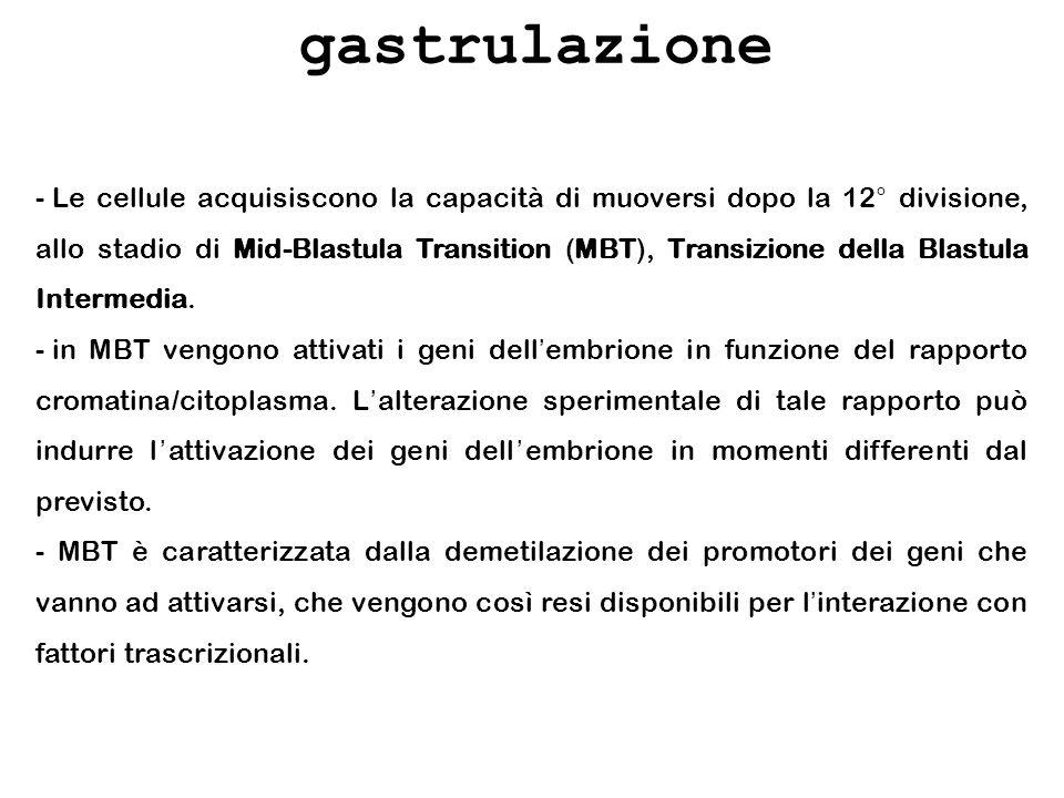 gastrulazione - Le cellule acquisiscono la capacità di muoversi dopo la 12° divisione, allo stadio di Mid-Blastula Transition (MBT), Transizione della