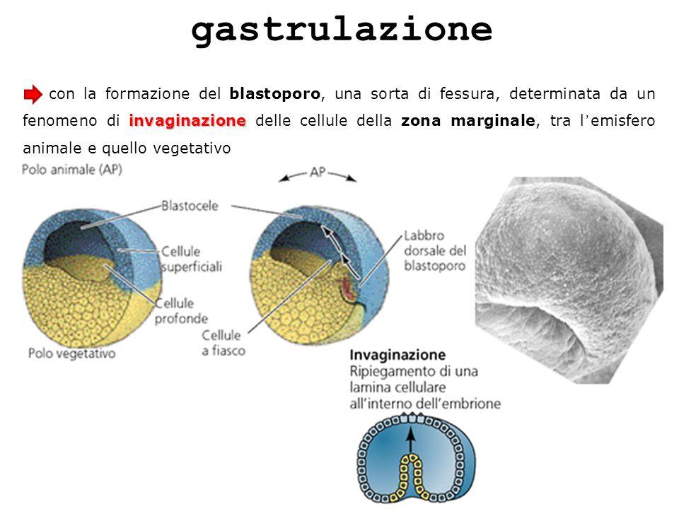 gastrulazione invaginazione con la formazione del blastoporo, una sorta di fessura, determinata da un fenomeno di invaginazione delle cellule della zo