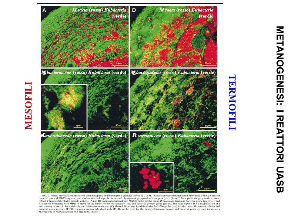 METANOGENESI: I REATTORI UASB M.saeta (rosso) Eubacteria (verde) M.bacteriaceae (rosso) Eubacteria (verde) M.microbiaceae (rosso) Eubacteria (verde)M.