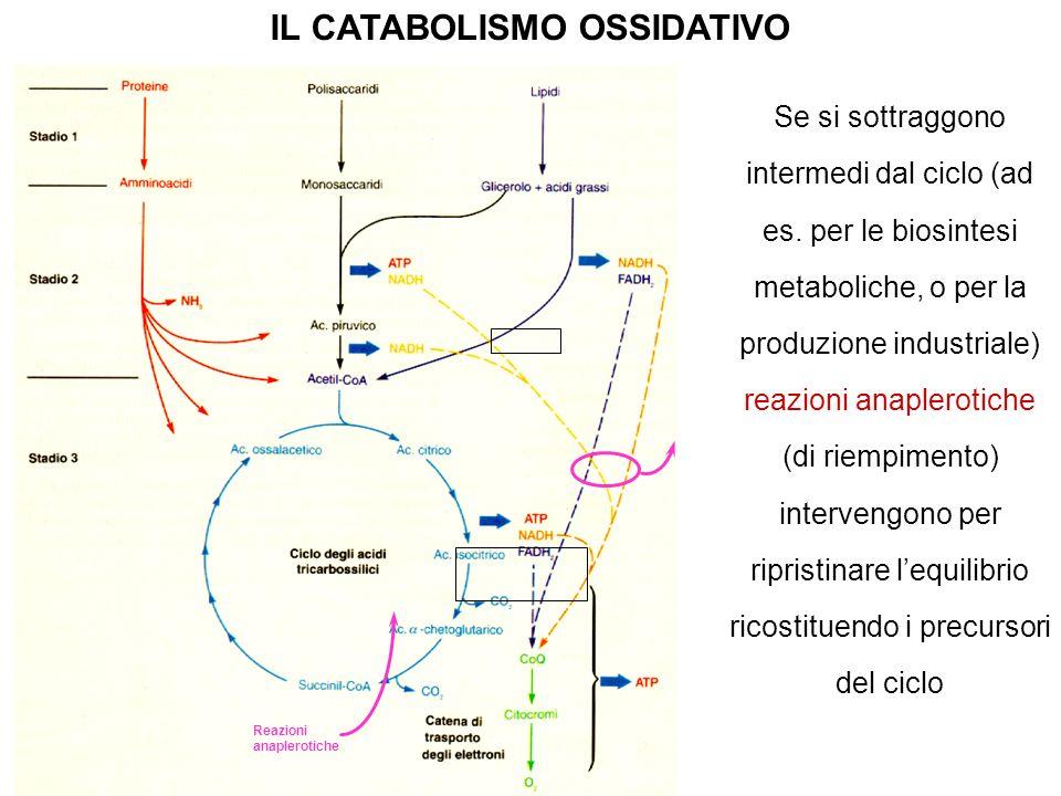 Se si sottraggono intermedi dal ciclo (ad es. per le biosintesi metaboliche, o per la produzione industriale) reazioni anaplerotiche (di riempimento)