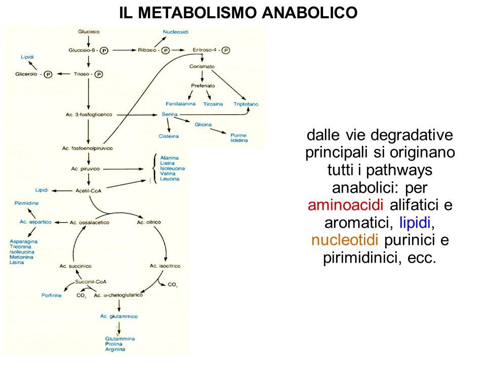 dalle vie degradative principali si originano tutti i pathways anabolici: per aminoacidi alifatici e aromatici, lipidi, nucleotidi purinici e pirimidi