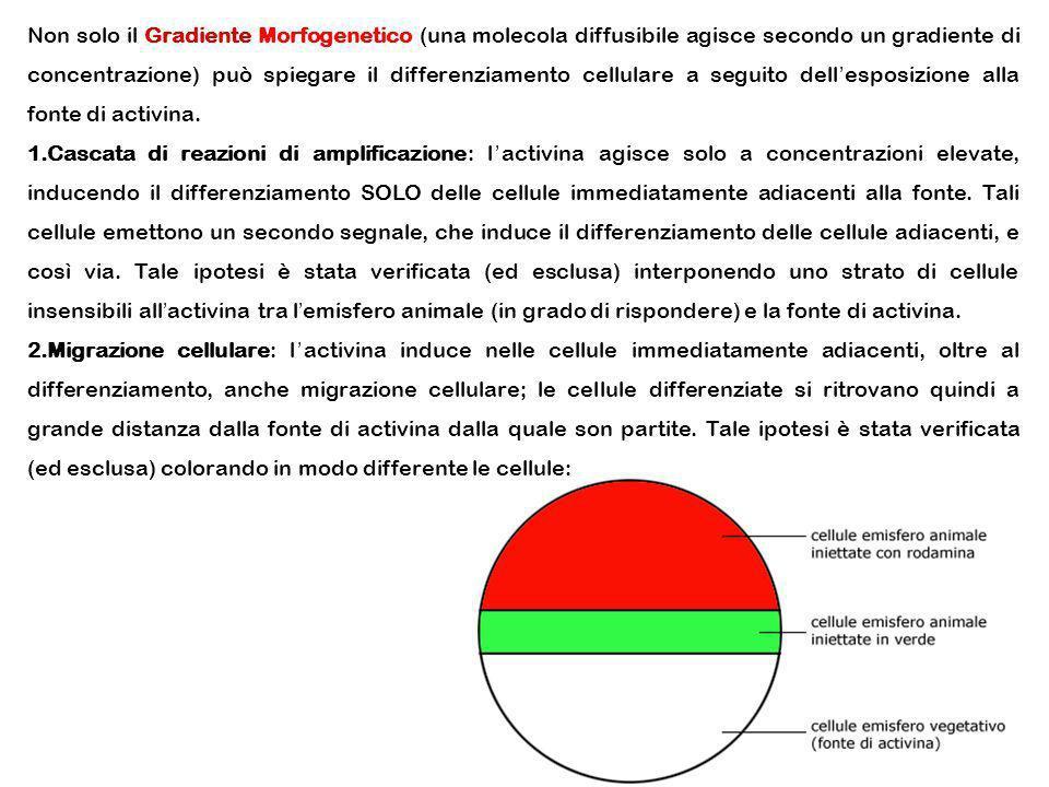 Non solo il Gradiente Morfogenetico (una molecola diffusibile agisce secondo un gradiente di concentrazione) può spiegare il differenziamento cellular