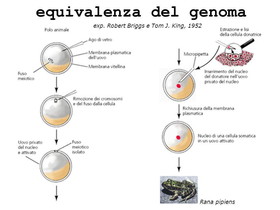 equivalenza del genoma exp. Robert Briggs e Tom J. King, 1952 Rana pipiens