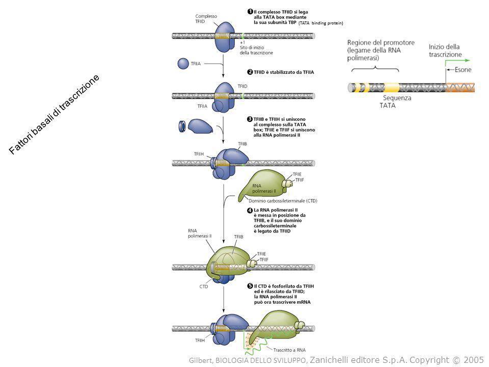 (TATA binding protein) Fattori basali di trascrizione