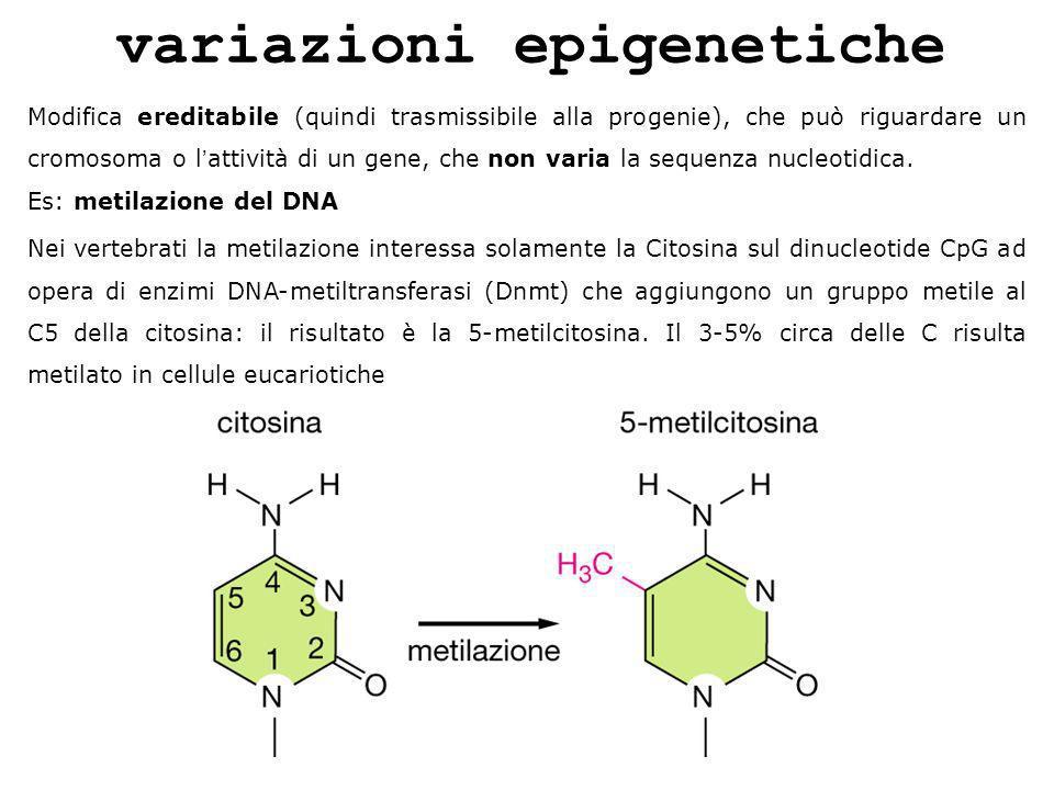 variazioni epigenetiche Modifica ereditabile (quindi trasmissibile alla progenie), che può riguardare un cromosoma o lattività di un gene, che non var