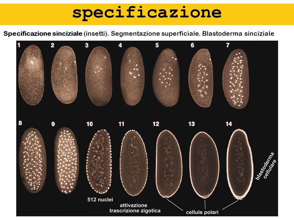 Specificazione sinciziale (insetti). Segmentazione superficiale. Blastoderma sinciziale specificazione Gilbert, BIOLOGIA DELLO SVILUPPO