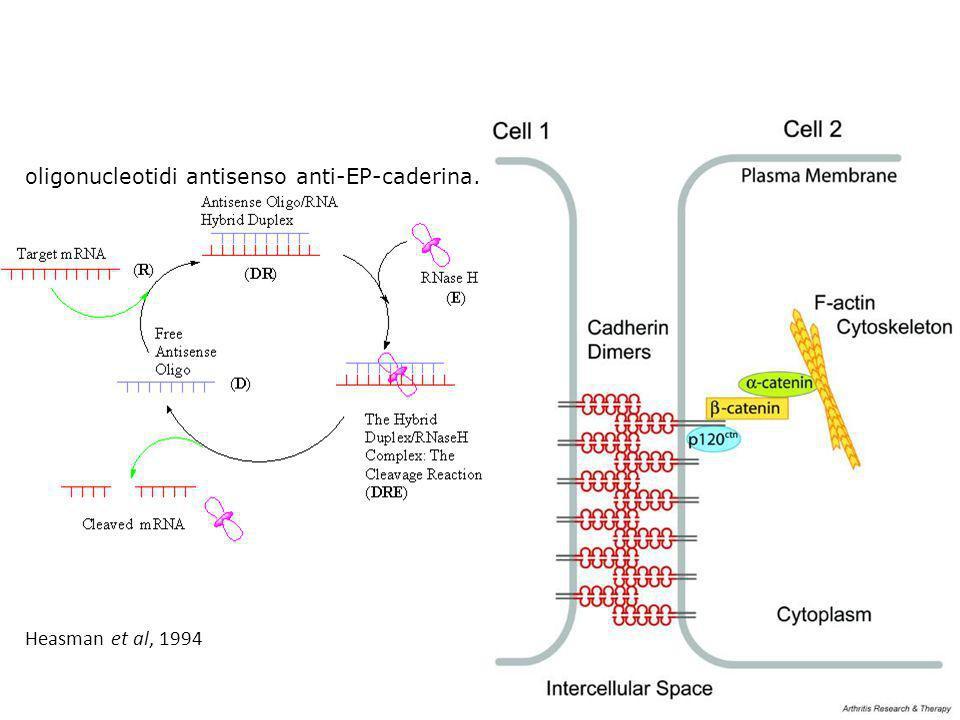oligonucleotidi antisenso anti-EP-caderina. Heasman et al, 1994
