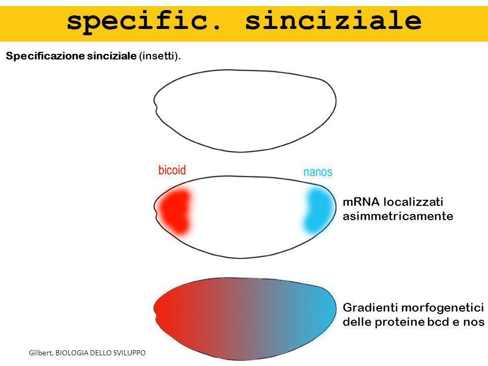 Specificazione sinciziale (insetti). specific. sinciziale Gilbert, BIOLOGIA DELLO SVILUPPO Gradienti morfogenetici delle proteine bcd e nos mRNA local