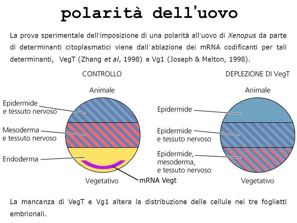 polarità delluovo La prova sperimentale dellimposizione di una polarità alluovo di Xenopus da parte di determinanti citoplasmatici viene dallablazione