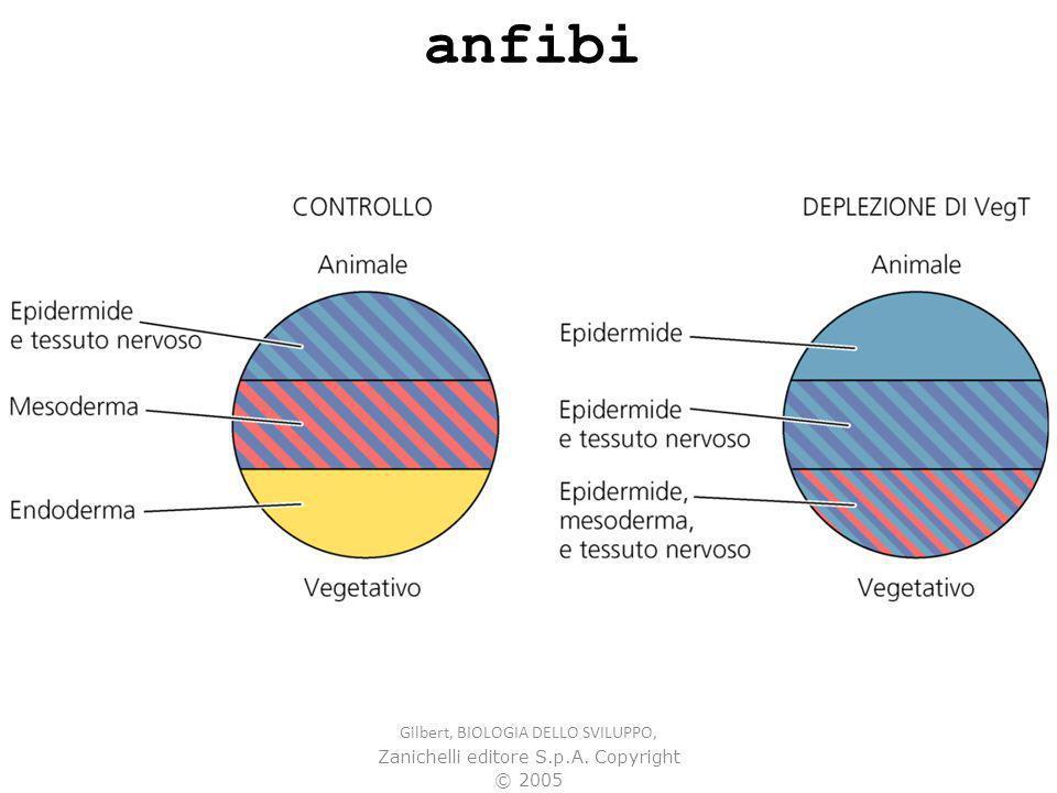 Gilbert, BIOLOGIA DELLO SVILUPPO, Zanichelli editore S.p.A. Copyright © 2005 anfibi