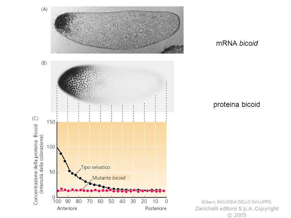 Gilbert, BIOLOGIA DELLO SVILUPPO, Zanichelli editore S.p.A. Copyright © 2005 mRNA bicoid proteina bicoid