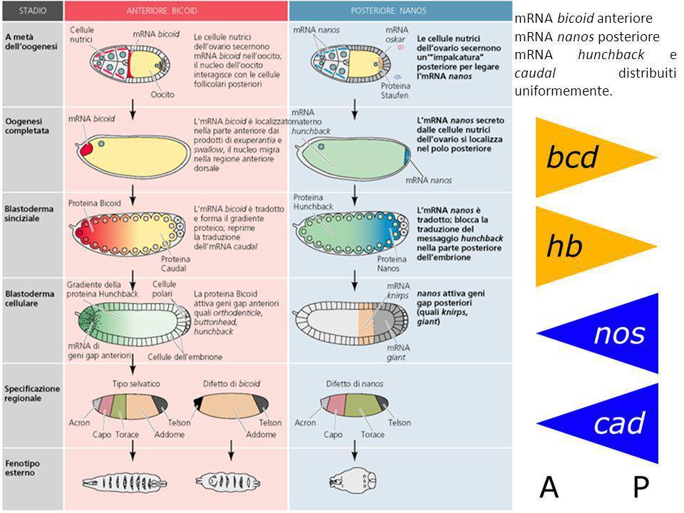 polarità delluovo La prova sperimentale dellimposizione di una polarità alluovo di Xenopus da parte di determinanti citoplasmatici viene dallablazione dei mRNA codificanti per tali determinanti, VegT (Zhang et al, 1998) e Vg1 (Joseph & Melton, 1998).