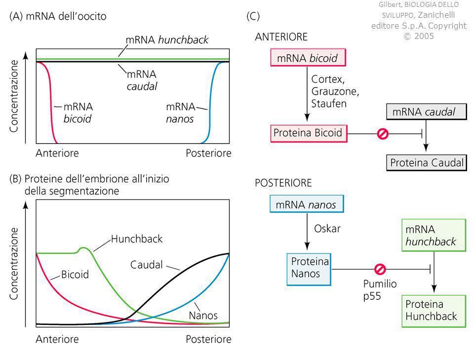 anfibi - segmentazione Morula (16-64 cellule) Blastula (128 cellule) Blastocele (cavità)
