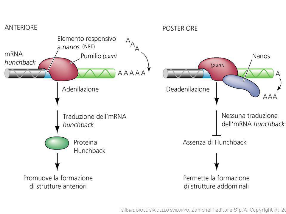 Lo schema di metilazione viene mantenuto ad opera di DNA-metil transferasi di mantenimento, che hanno particolare affinità per le sequenze emi-metilate: tendono quindi a metilare il nuovo filamento che si è formato su uno stampo metilato.