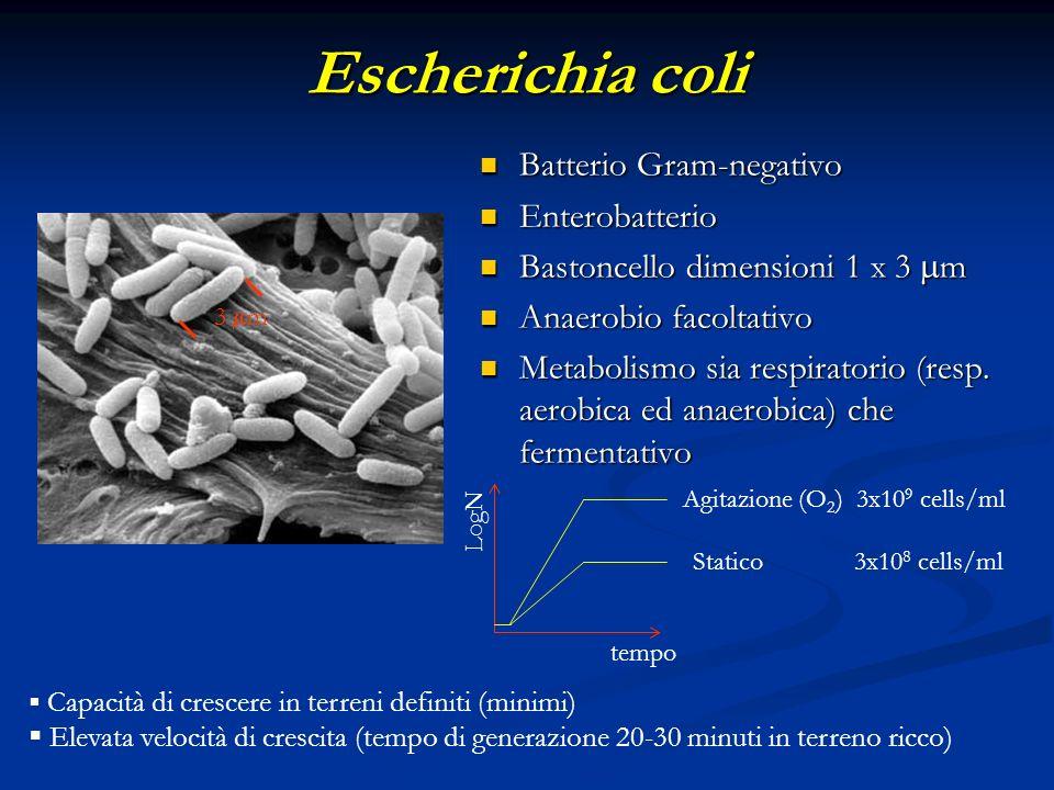 Escherichia coli Batterio Gram-negativo Batterio Gram-negativo Enterobatterio Enterobatterio Bastoncello dimensioni 1 x 3 m Bastoncello dimensioni 1 x