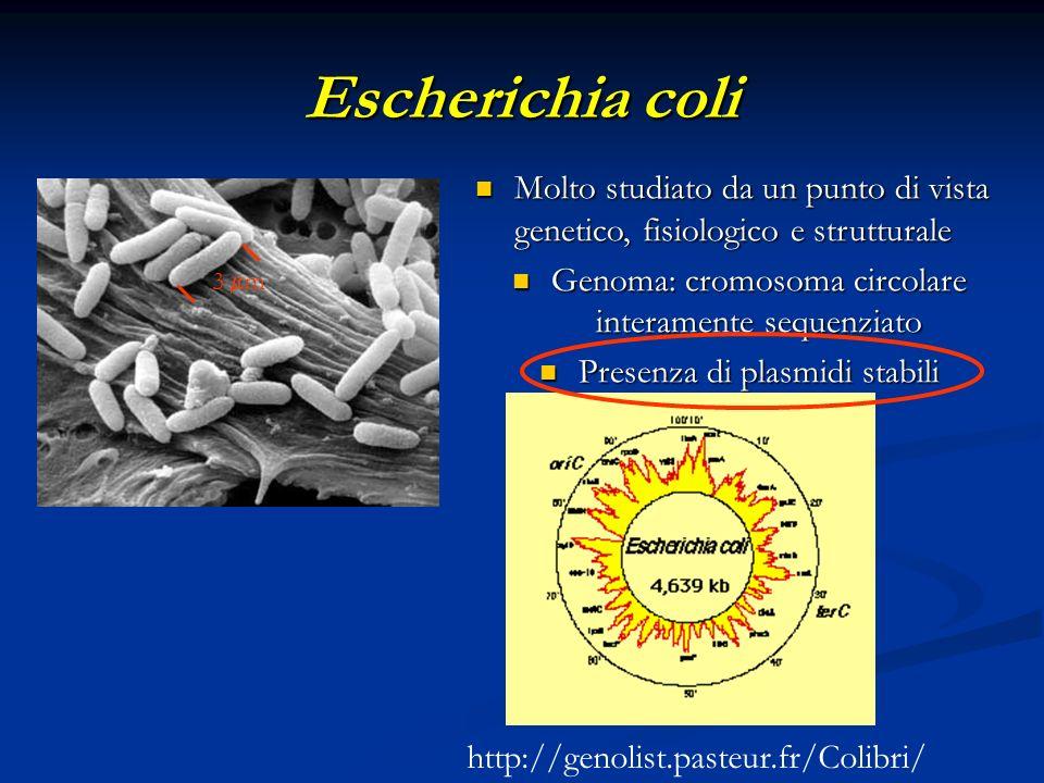 Escherichia coli Molto studiato da un punto di vista genetico, fisiologico e strutturale Molto studiato da un punto di vista genetico, fisiologico e s