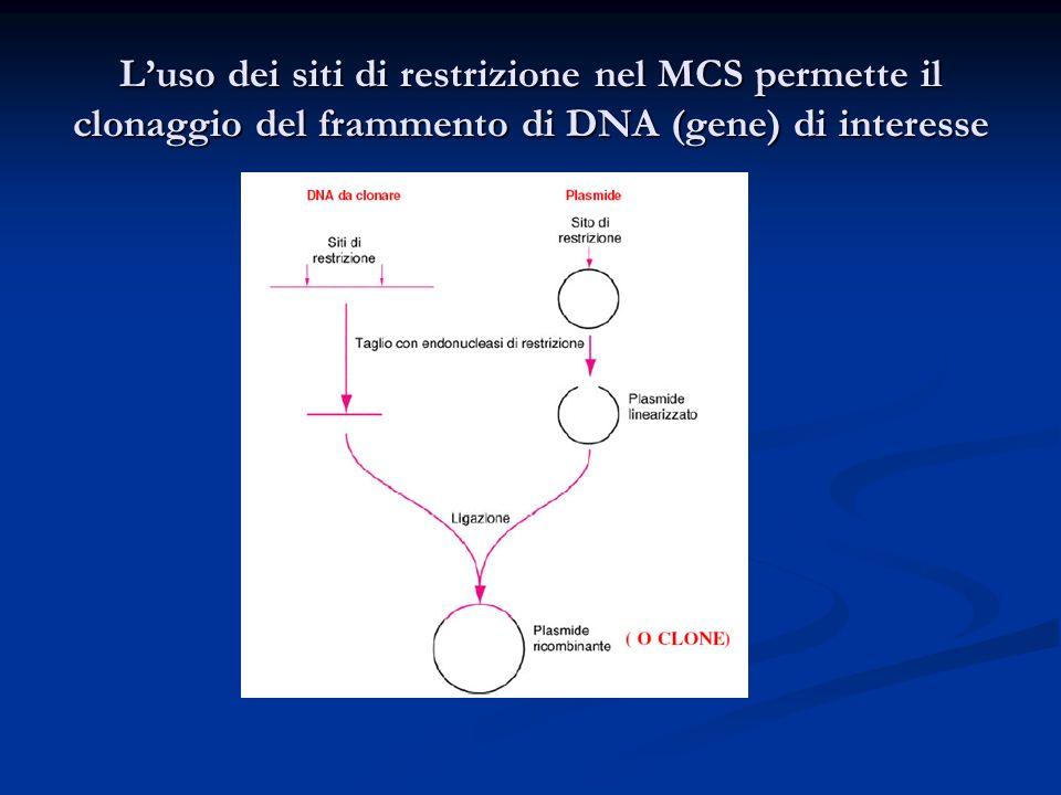 Luso dei siti di restrizione nel MCS permette il clonaggio del frammento di DNA (gene) di interesse