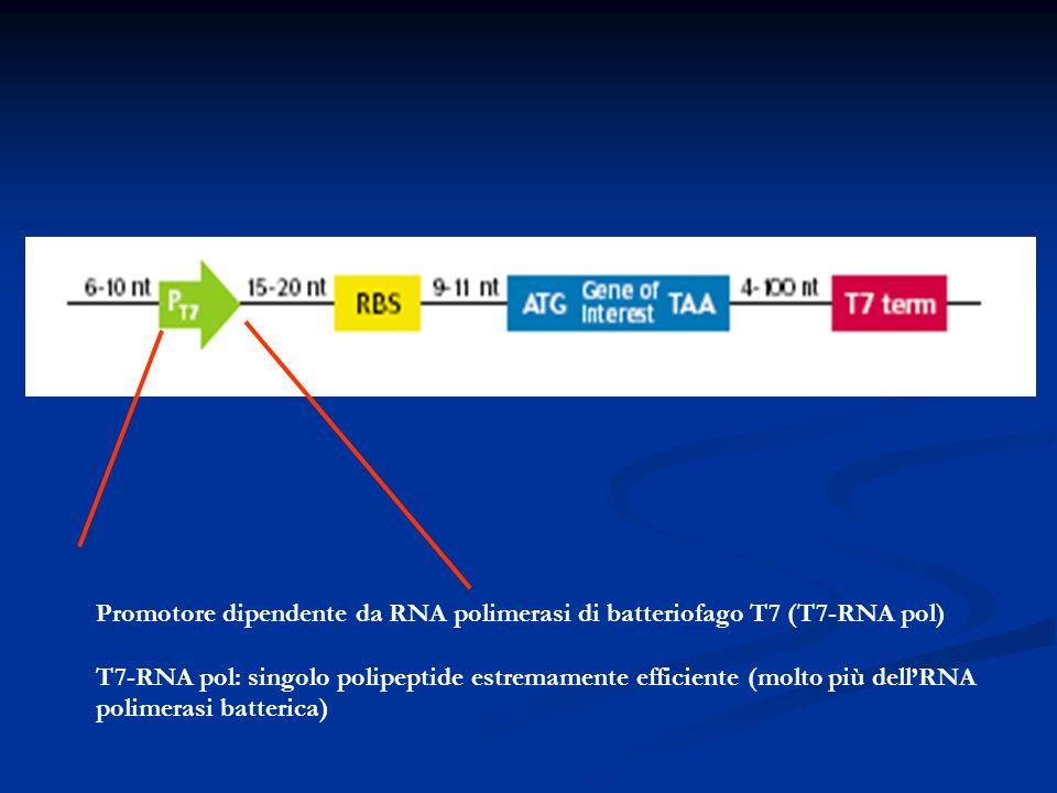 Promotore dipendente da RNA polimerasi di batteriofago T7 (T7-RNA pol) T7-RNA pol: singolo polipeptide estremamente efficiente (molto più dellRNA poli