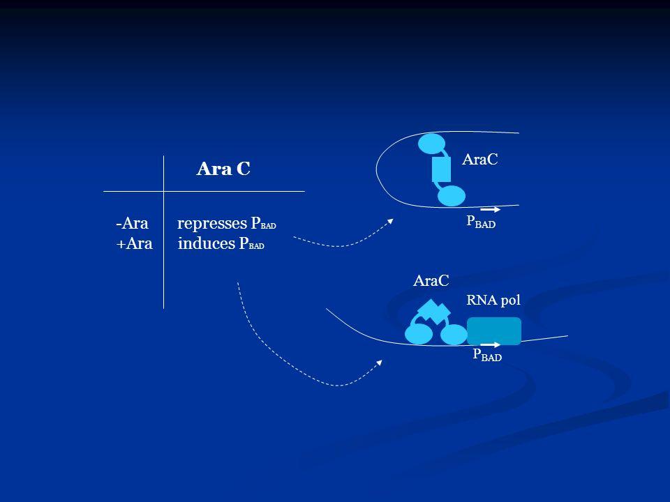 Ara C -Ara represses P BAD +Ara induces P BAD RNA pol P BAD AraC P BAD