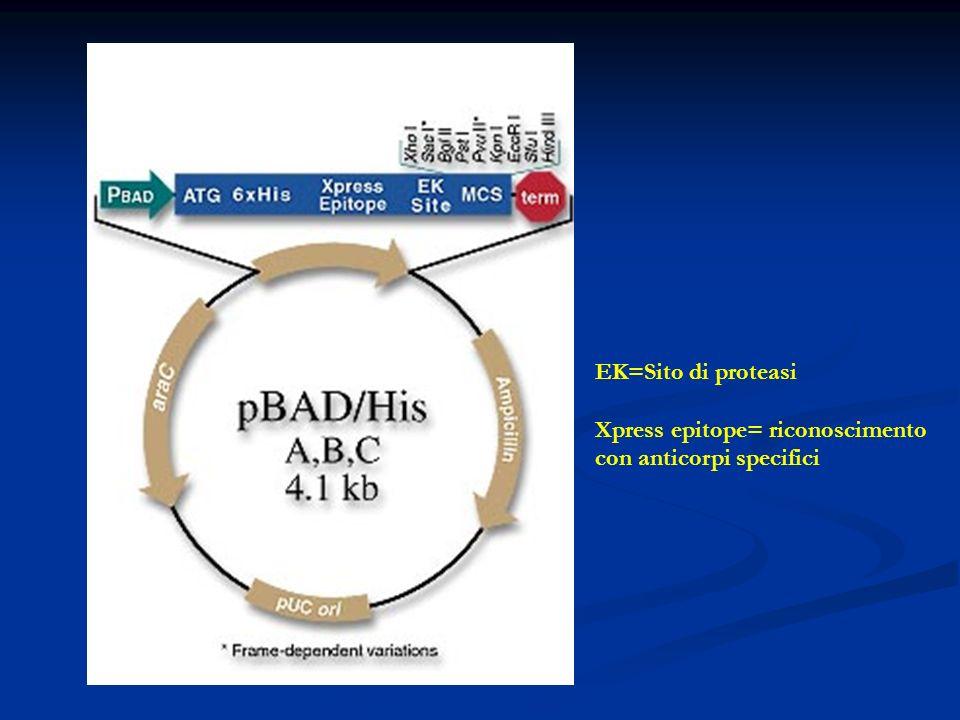 EK=Sito di proteasi Xpress epitope= riconoscimento con anticorpi specifici