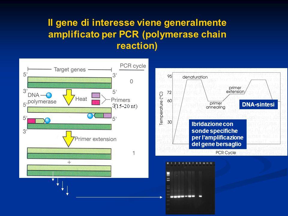 Il gene di interesse viene generalmente amplificato per PCR (polymerase chain reaction) 1 2 3 1 Ibridazione con sonde specifiche per lamplificazione d
