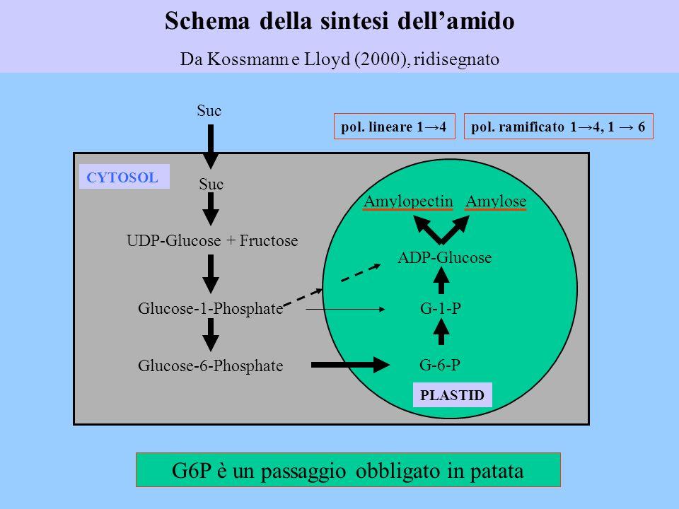 Schema della sintesi dellamido Da Kossmann e Lloyd (2000), ridisegnato CYTOSOL PLASTID Suc UDP-Glucose + Fructose Glucose-1-Phosphate Glucose-6-Phosph