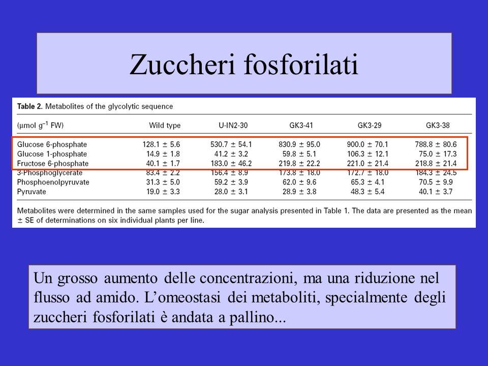Zuccheri fosforilati Un grosso aumento delle concentrazioni, ma una riduzione nel flusso ad amido. Lomeostasi dei metaboliti, specialmente degli zucch