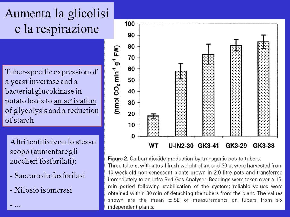 Aumenta la glicolisi e la respirazione Tuber-specific expression of a yeast invertase and a bacterial glucokinase in potato leads to an activation of glycolysis and a reduction of starch Altri tentitivi con lo stesso scopo (aumentare gli zuccheri fosforilati): - Saccarosio fosforilasi - Xilosio isomerasi -...