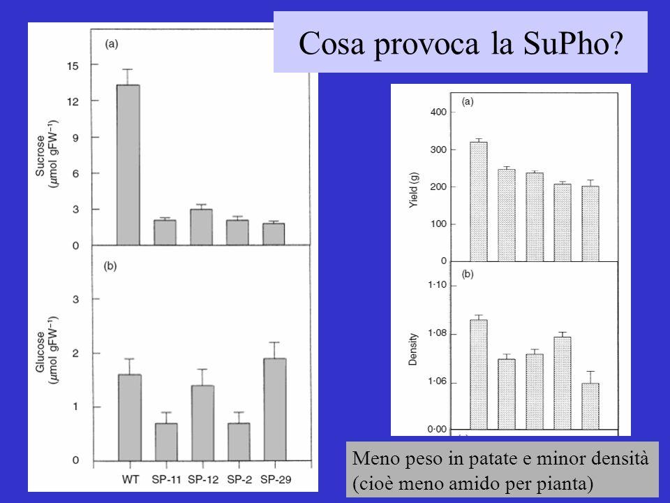 Cosa provoca la SuPho? Meno peso in patate e minor densità (cioè meno amido per pianta)