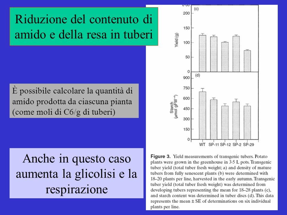 Riduzione del contenuto di amido e della resa in tuberi Anche in questo caso aumenta la glicolisi e la respirazione È possibile calcolare la quantità