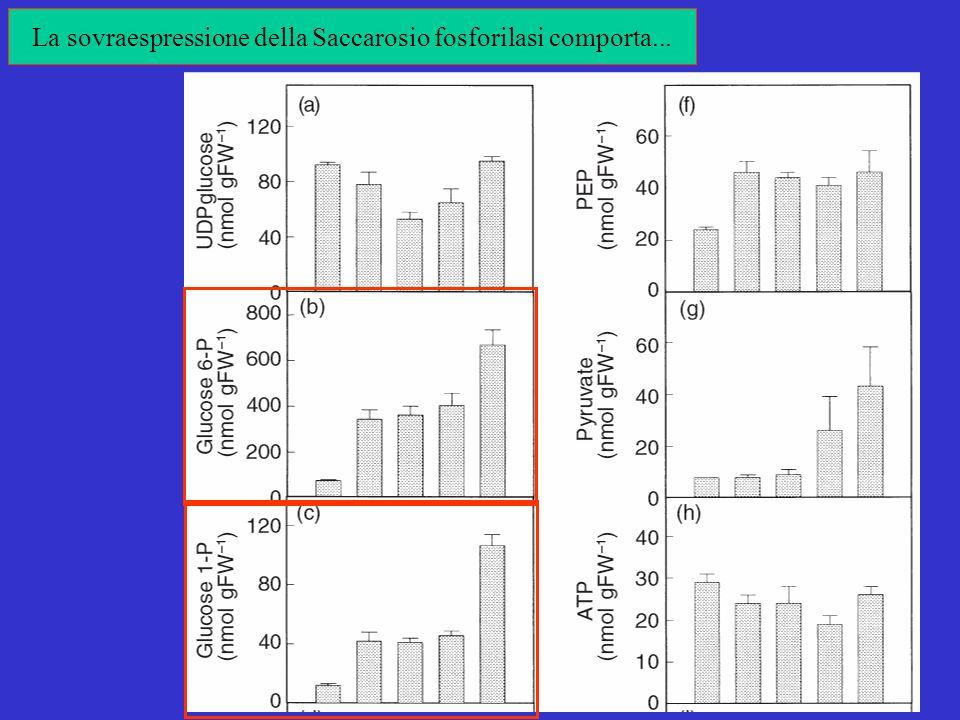 La sovraespressione della Saccarosio fosforilasi comporta...