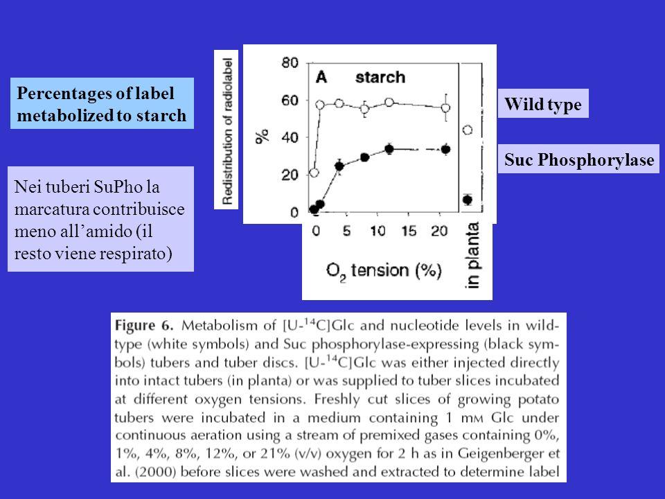 Suc Phosphorylase Wild type Percentages of label metabolized to starch Nei tuberi SuPho la marcatura contribuisce meno allamido (il resto viene respir