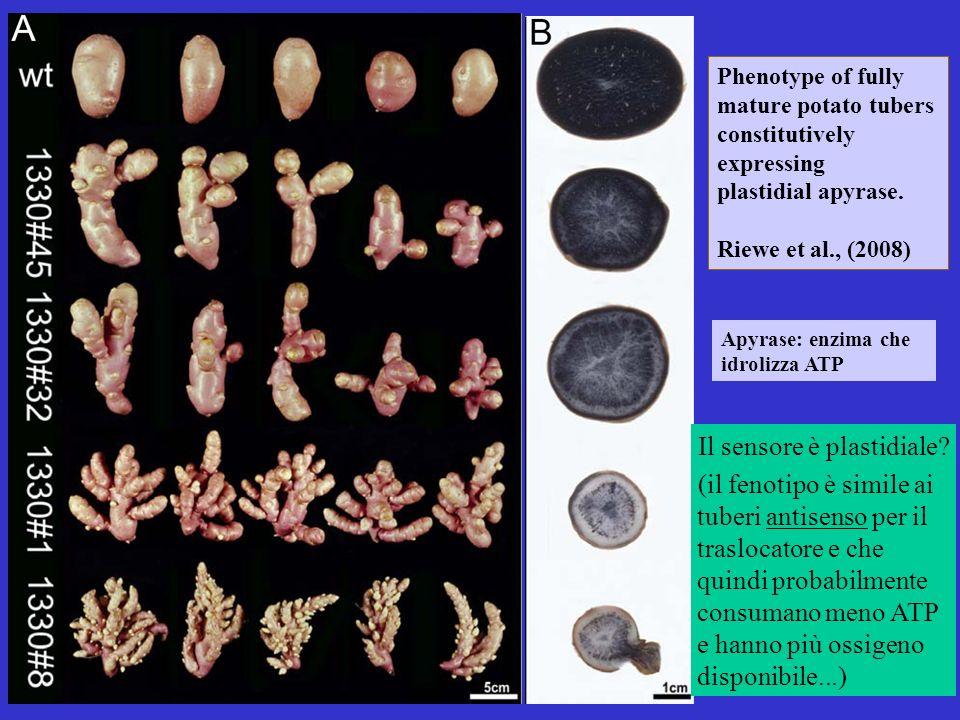 Phenotype of fully mature potato tubers constitutively expressing plastidial apyrase. Riewe et al., (2008) Apyrase: enzima che idrolizza ATP Il sensor