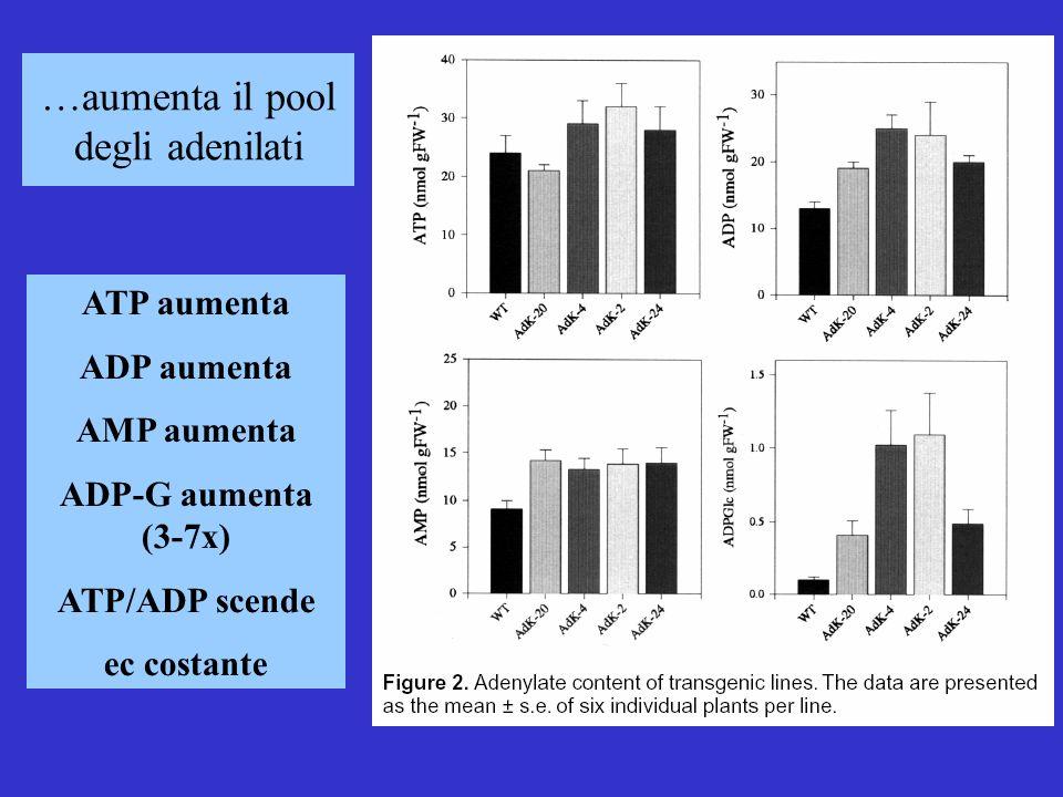 …aumenta il pool degli adenilati ATP aumenta ADP aumenta AMP aumenta ADP-G aumenta (3-7x) ATP/ADP scende ec costante